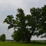 Storasis ąžuolas