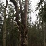 Rumšiškių miško pušis