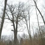 Gojaus miško ąžuolas
