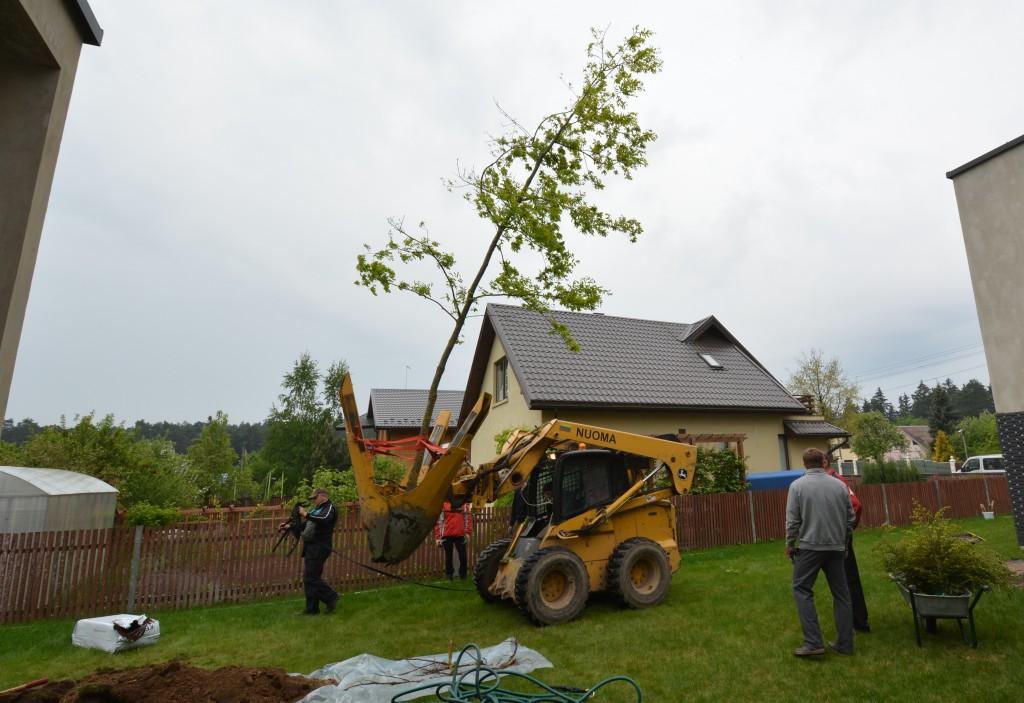 Didelių medžių sodinimas