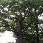 Šiaudėnų kapinaičių ąžuolas