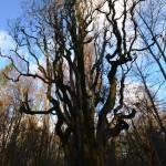 Vilkėnų parko ąžuolas Glaustašakis