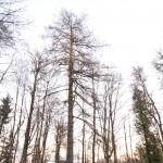 Švėkšnos parko maumedis
