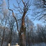 Molavėnų ąžuolas
